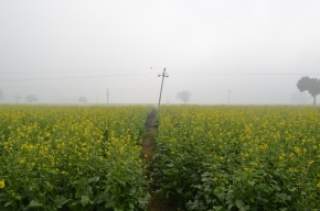 Mustard Fields enroute Alwar
