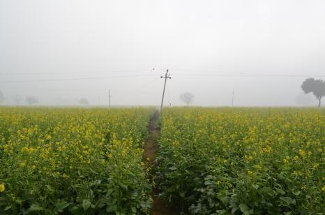 Mustard Fields enroute Alwar